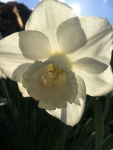 Daffodil by Claudine Fignon